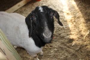 boer goat, meat goat