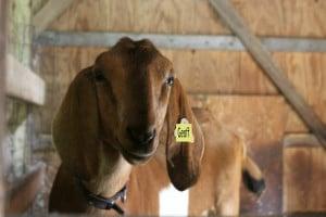 loaner goat