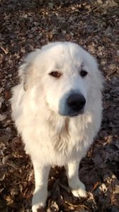 Our Great Pyrenees puppy trying to look wise beyond his years.